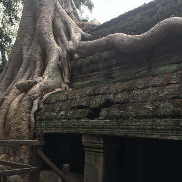Tree growing on a temple in Angkor, Cambodia