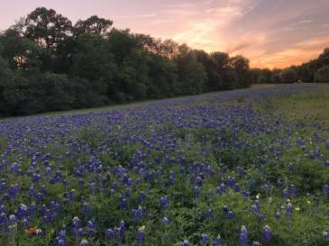 Field of Bluebonnets in Houston, Texas, USA