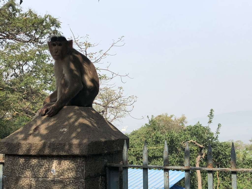 Monkey, Elephanta Island, Maharashtra, India