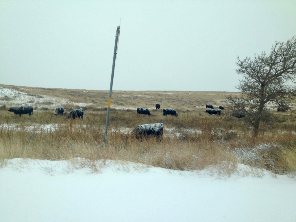 Cows in Snow, Texas Panhandle, USA